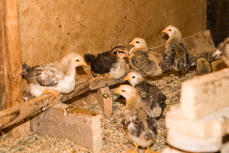 outhouse: Chicks sitting on a perch in the coop