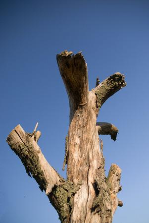 bole: The trunk of dead tree on blue sky background Stock Photo