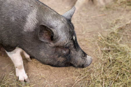 brute: The snout of a boar on the farm big