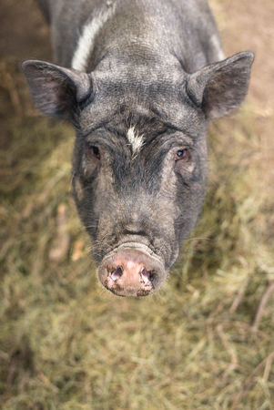 slob: The snout of a boar on the farm big