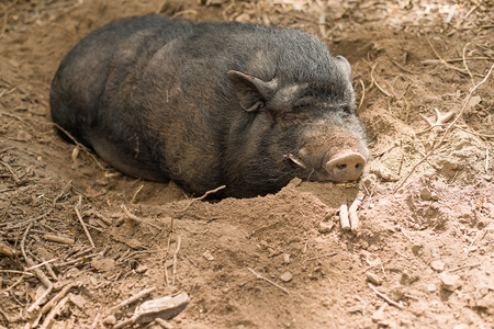 grubby: Hog on the farm is lying in the mud and sleeping
