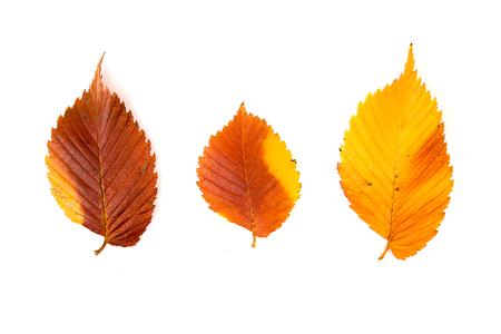 arboles frondosos: hoja de otoño caído de un árbol de más de blanco