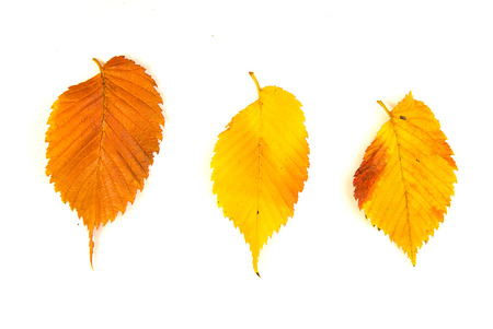 foliate: Fallen autumn leafs of a tree on over white Stock Photo