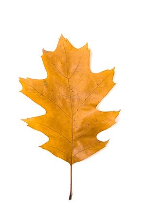 arboles frondosos: hoja de otoño caído de un árbol de roble de más de blanco