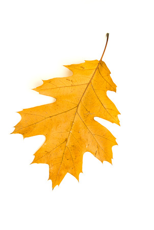 foliate: Dry fallen autumn leaf of a tree on over white