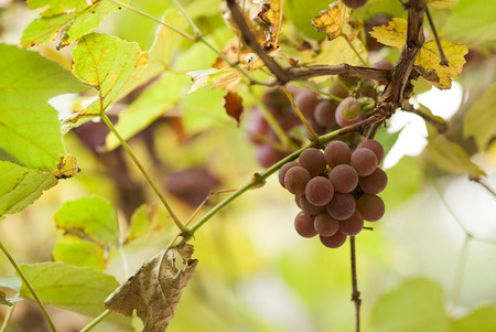 luscious: Bunch of ripe grapes on the vine in autumn