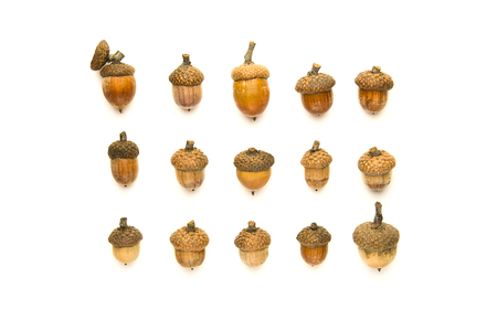 granule: Many dried autumn acorns on white