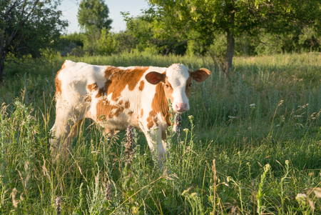 bullock animal: Calf grazing in the meadow on the farm on a Sunny day