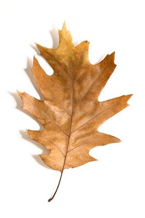 One dry fallen oak leaf on over white