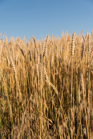 Ears of wheat growing on a farm field Stock Photo