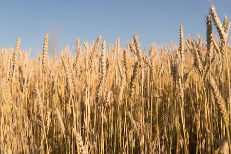 Ears of wheat growing on a farm field Stock Photo