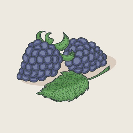 blackberries: Doodle blackberries and leaf isolated on a pastel background