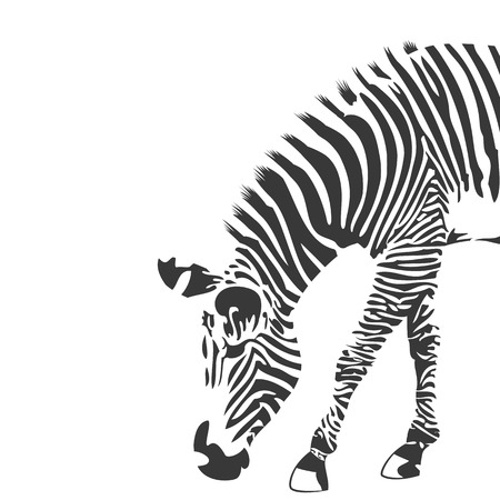 zebra pattern: Illustration of zebra in black and white