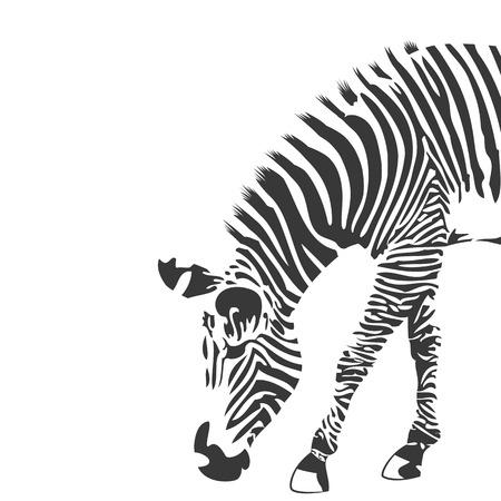 cebra: Ilustraci�n de cebra en blanco y negro
