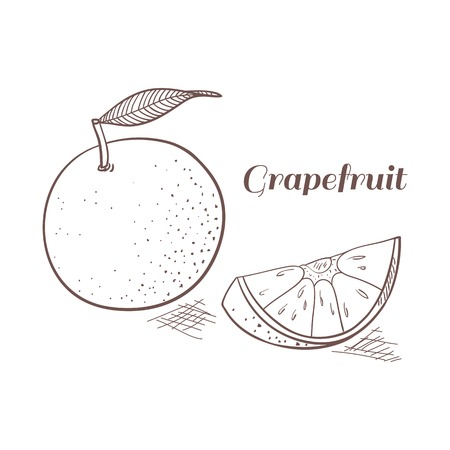 grapefruit: Grapefruit vector illustration. Outline engraving design