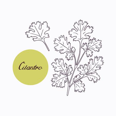 手描き下ろしコエンドロの葉枝 leves 白で隔離。手描きのスパイシーなハーブ。落書きの設計のための食材。手には、調味料が描画されます。ベクト