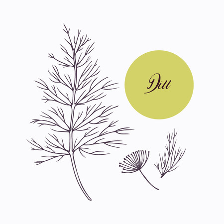 isolated ingredient: Hand drawn dill branch with leves isolated on white. Hand drawn spicy herbs. Doodle cooking ingredient for design. Hand drawn seasoning. Vector illustration Illustration