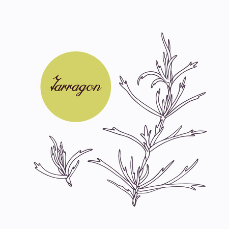 tarragon: Hand drawn tarragon branch with leves isolated on white. Hand drawn spicy herbs. Doodle cooking ingredient for design. Hand drawn seasoning. Vector illustration