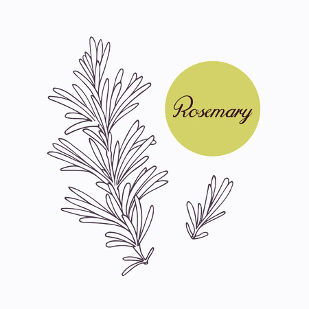 hierbas: Dibujado a mano la rama de romero con leves aisladas en blanco. Dibujado a mano hierbas picantes. Ingrediente de cocina Doodle para el diseño. Dibujado a mano condimento. Ilustración vectorial