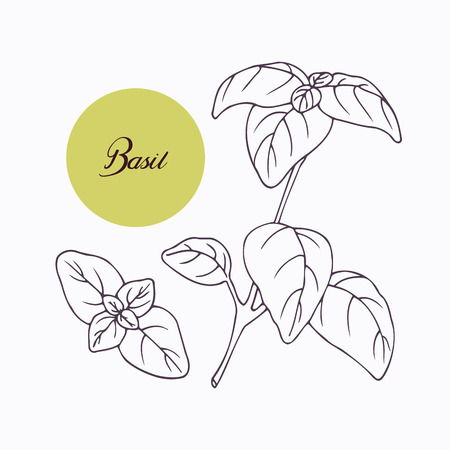 basil: Hand drawn basil branch with leves isolated on white. Hand drawn spicy herbs. Doodle cooking ingredient for design. Hand drawn seasoning. Vector illustration