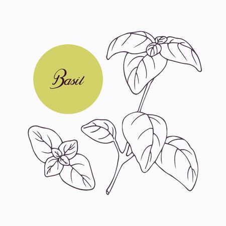 hierbas: Mano rama de albahaca dibujado con leves aisladas en blanco. Dibujado a mano hierbas picantes. Ingrediente de cocina Doodle para el dise�o. Dibujado a mano condimento. Ilustraci�n vectorial
