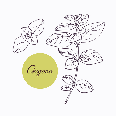 cooking ingredients: Hand drawn oregano branch with leves isolated on white. Hand drawn spicy herbs. Doodle cooking ingredient for design. Hand drawn seasoning. Vector illustration Illustration