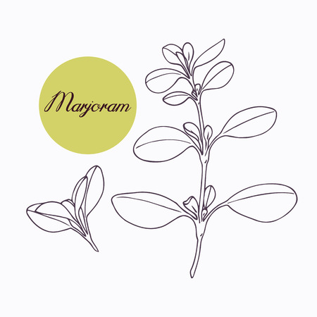 Hand drawn marjoram branch with leves isolated on white. Hand drawn spicy herbs. Doodle cooking ingredient for design. Hand drawn seasoning. Vector illustration