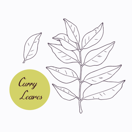 카레: Hand drawn curry leaves branch isolated on white. Hand drawn spicy herbs. Doodle cooking ingredient for design. Hand drawn seasoning. Vector illustration