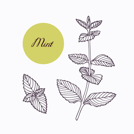 leaf line: Hand drawn mint branch with leaves isolated on white. Hand drawn spicy herbs. Doodle cooking ingredient for design. Hand drawn seasoning. Vector illustration Illustration
