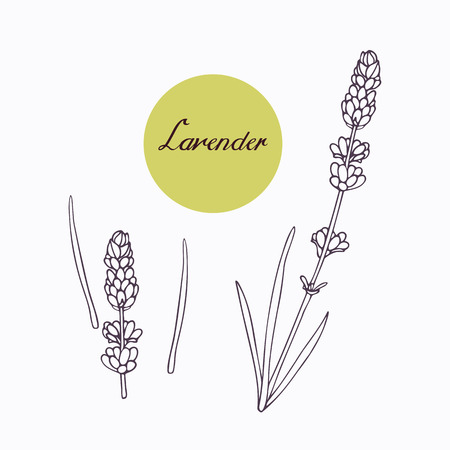 seasoning: Hand drawn lavender branch with leaves isolated on white. Hand drawn spicy herbs. Doodle cooking ingredient for design. Hand drawn seasoning. Vector illustration Stock Photo
