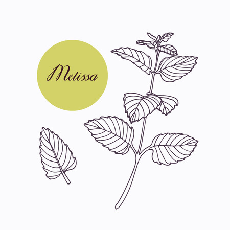 seasoning: Hand drawn melissa branch with leaves isolated on white. Hand drawn spicy herbs. Doodle cooking ingredient for design. Hand drawn seasoning. Vector illustration