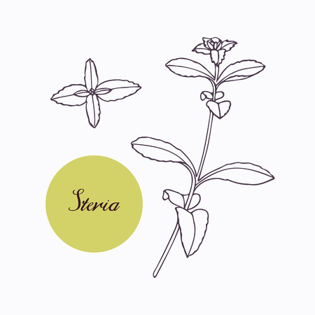 branch isolated: Hand drawn stevia branch with leaves isolated on white. Hand drawn spicy herbs. Doodle cooking ingredient for design. Hand drawn seasoning. Vector illustration