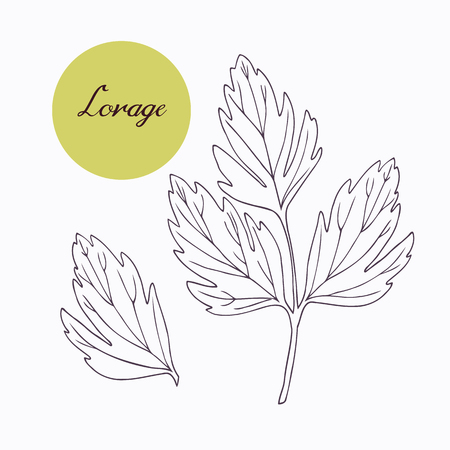 isolated ingredient: Hand drawn lovage branch with leaves isolated on white. Hand drawn spicy herbs. Doodle cooking ingredient for design. Hand drawn seasoning. Vector illustration Illustration