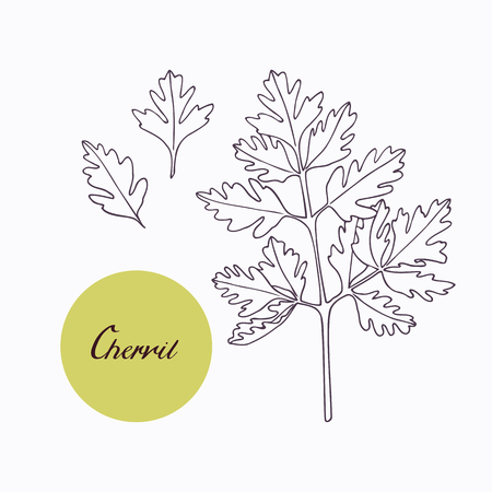 Hand drawn chervil branch with leaves isolated on white. Hand drawn spicy herbs. Doodle cooking ingredient for design. Hand drawn seasoning. Vector illustration