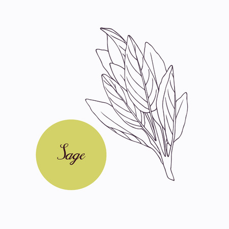 salvia: Hand drawn sage branch with leaves isolated on white. Hand drawn spicy herbs. Doodle cooking ingredient for design. Hand drawn seasoning. Vector illustration