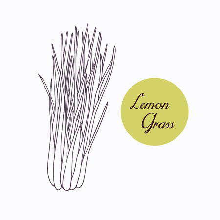 Hand drawn lemongrass branch with leaves isolated on white. Hand drawn spicy herbs. Doodle cooking ingredient for design. Hand drawn seasoning. Vector illustration