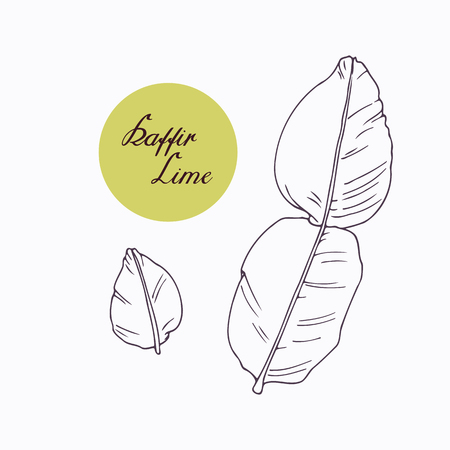 thailand food: Hand drawn kaffir lime branch with leaves isolated on white. Hand drawn spicy herbs. Doodle cooking ingredient for design. Hand drawn seasoning. Vector illustration Illustration