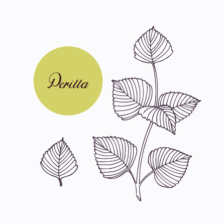 isolated ingredient: Hand drawn perilla herb branch with leaves isolated on white. Hand drawn spicy herbs. Doodle cooking ingredient for design. Hand drawn seasoning. Vector illustration Illustration
