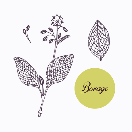 seasoning: Hand drawn borage borago branch with leaves isolated on white. Hand drawn spicy herbs. Doodle cooking ingredient for design. Hand drawn seasoning. Vector illustration
