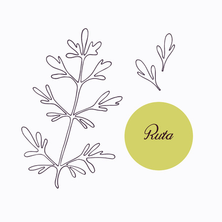 ruta: Hand drawn ruta or rue branch with leaves isolated on white. Hand drawn spicy herbs. Doodle cooking ingredient for design. Hand drawn seasoning. Vector illustration Illustration