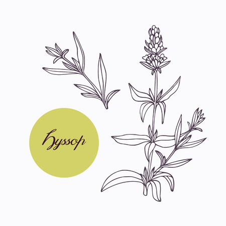 hyssop: Hand drawn hyssop branch with leaves isolated on white. Hand drawn spicy herbs. Doodle cooking ingredient for design. Hand drawn seasoning. Vector illustration