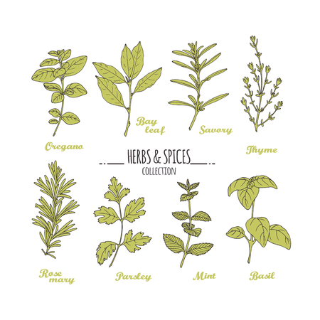 condiments: Hand drawn herbs and spices collection. Green fresh condiments isolated on white. For kitchen or package design. Vector illustration Illustration