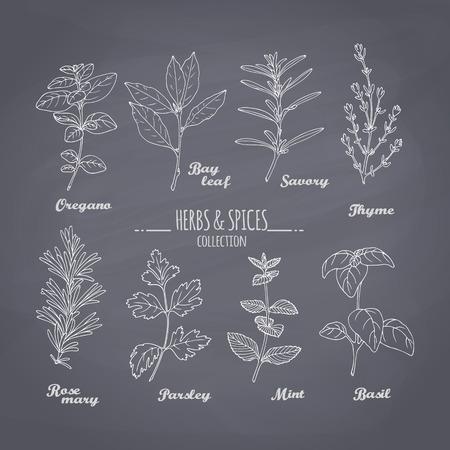 Set di disegnati a mano erbe piccanti su sfondo lavagna. Gesso condimenti stile per la progettazione. illustrazione di vettore Vettoriali