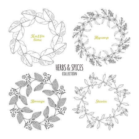 hyssop: Spicy herb circle frames collection. Hand drawn kaffir lime, borage, hyssop, stevia. Kitchen background. Vector illustration Illustration