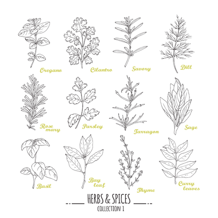 cilantro: Hand drawn herbs and spices collection. Outline style seasonings. Vector illustration