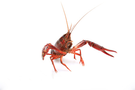 palinuridae: Lobster: general thick, long flesh thick, more than a hard spines, delicious, is a rare seafood.