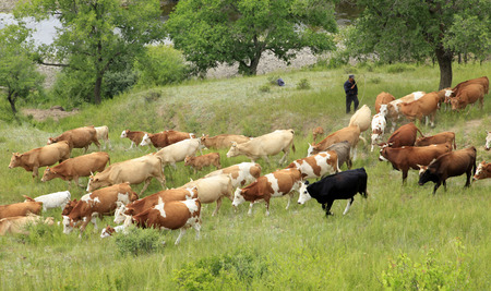 ranching: On the hillside, A herd of cattle are grazing
