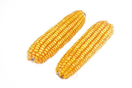 planta de maiz: El ma�z es una especie de cultivos comunes, primer plano