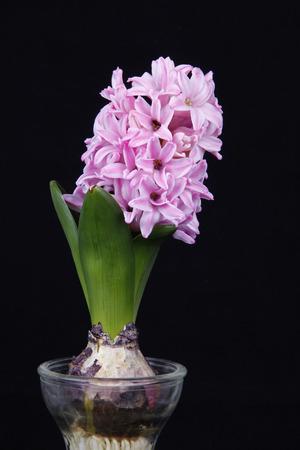 hydroponic: Hydroponic hyacinth blossom, very beautiful, close-up