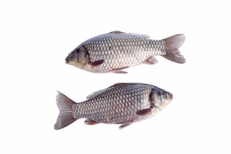 crucian carp: crucian carp, white background